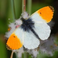 Orange-tip - Barr buí