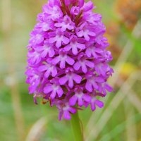 Pyramidal Orchid - Magairlín na stuaice