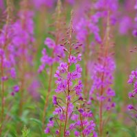 Rosebay Willowherb - Lus na tine