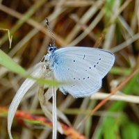 Small Blue - Gormán beag