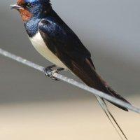 Swallow - Fáinleog