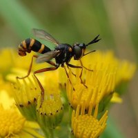 Thick-headed Fly - Conops quadrifasciatus