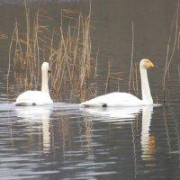 Whooper Swan - Eala ghlórach