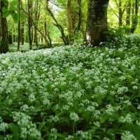 Wild Garlic/Ramsons - Creamh