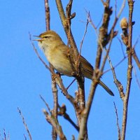 Willow Warbler - Ceolaire sailí