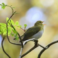Wood Warbler - Ceolaire coille