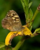 Speckled_Wood_Butterfly