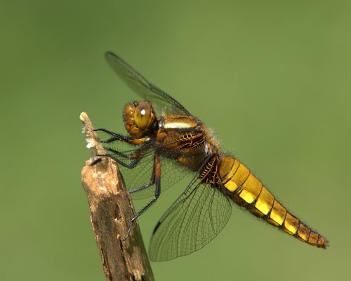 Female_Broad-bodied_Chaser