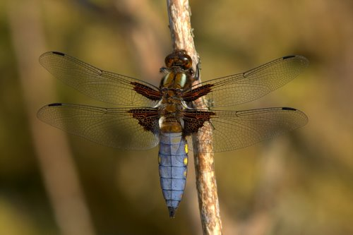 Male_Broad-bodied_Chaser