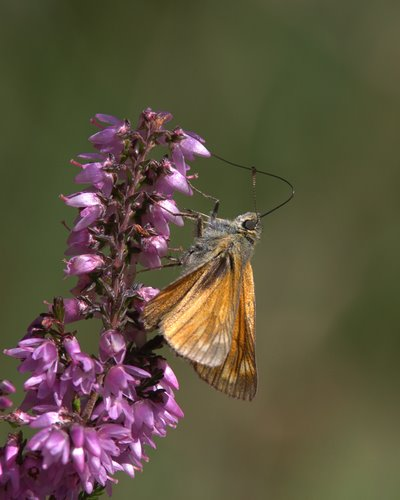Large_Skipper