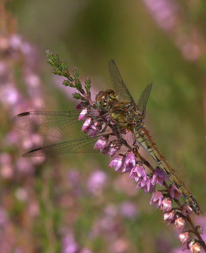 Female_Common_Darter
