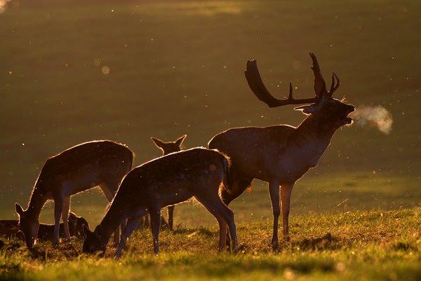 Fallow_Deer_in_Autumn