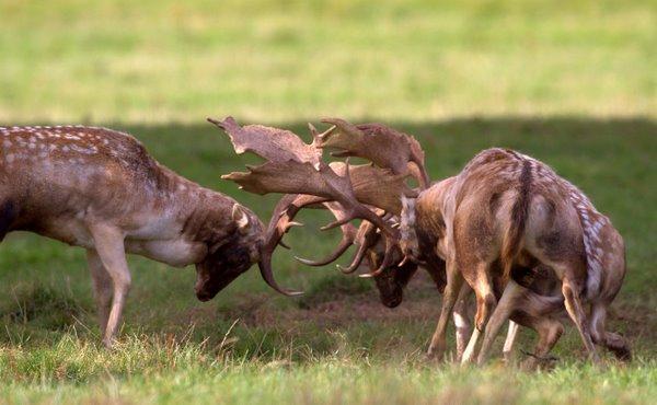 Rutting_Fallow_Deer