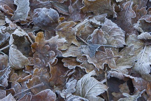 Frosted_Winter_Leaves
