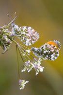 Male_Orange-tip_Butterflies
