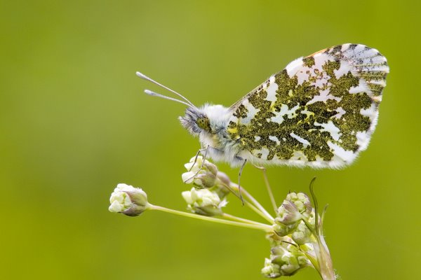 Male_Orange_Tip_Butterfly