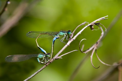 Blue-tailed_Damselfly