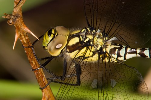 Southern_Hawker_Dragonfly