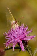 Brimstone_Butterfly