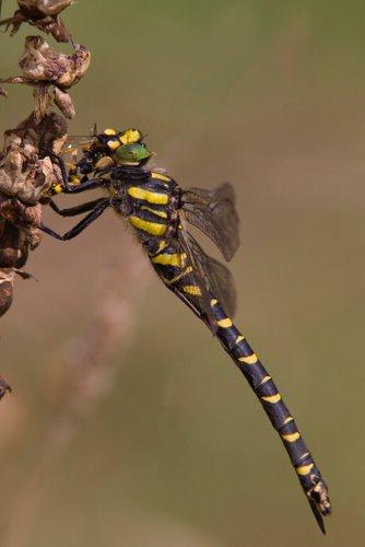 Golden_Ringed_Dragonfly
