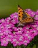 Small_Copper_Butterfly