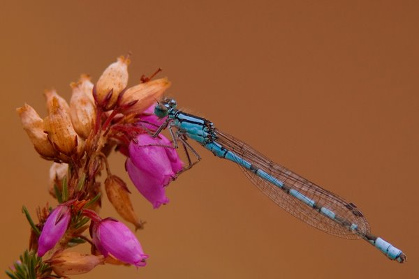 Common_Blue_Damselfly