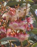 Eucalyptus Flower - Eucalyptus toruata