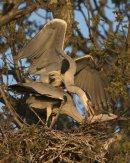 Mating Grey Herons