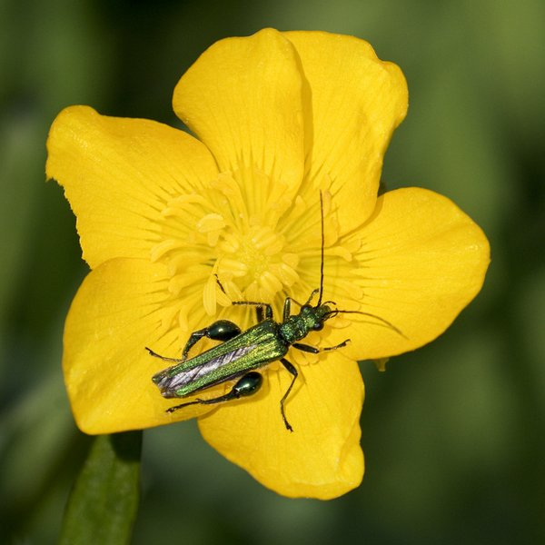 Male Thick-legged Flower Beetle