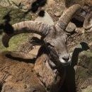 Mouflon (Captive)