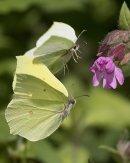 Courting Brimstone Butterflies