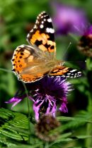 Painted_Lady_Butterfly_1