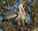 Grey Heron Pair