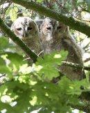 Tawny Owlets