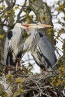 Grey Heron Pair