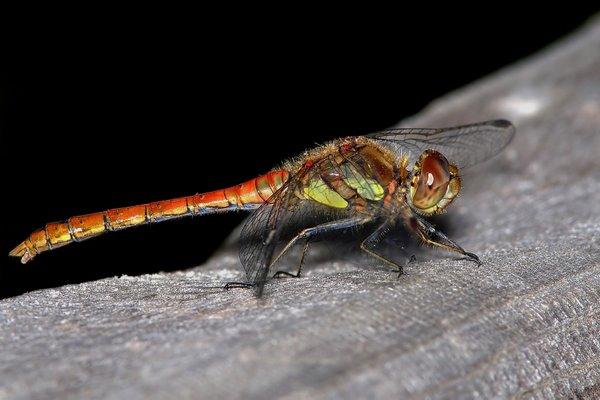 Commom_Darter_Dragonfly