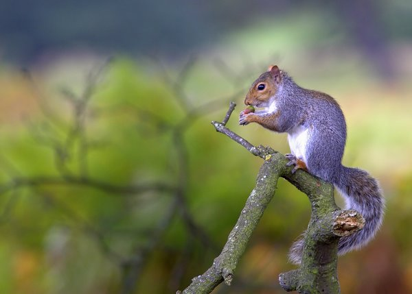 Powderham_Squirrel_2