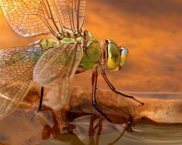 Female_Emperor_Dragonfly
