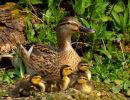 Mallard_Duck_Family