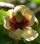 Magnolia_Flower_1