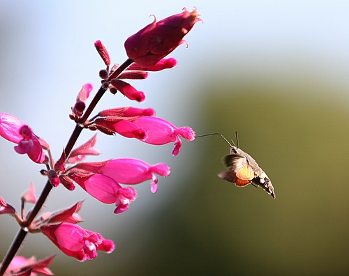 Humming_Bird_Hawk_Moth