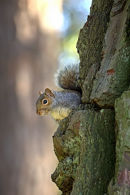 """Peekaboo""_Grey_Squirrel_1"
