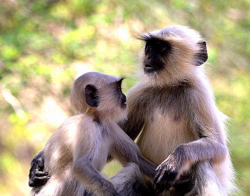 Langur_Siblings_India_1
