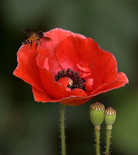 Poppy_and_Bee_India