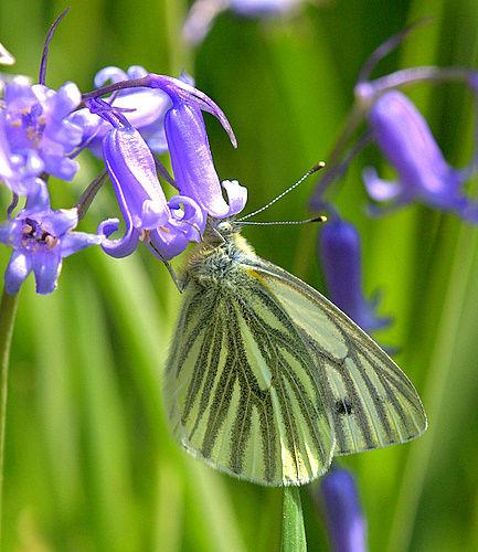 Green_Veined_White<br> _on_Bluebells