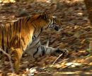 Running_Tiger_India
