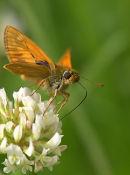 Skipper_Butterfly_1