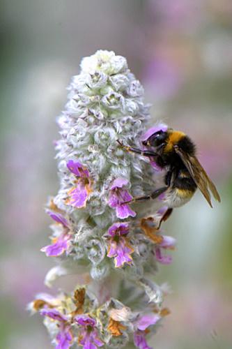 Bumble-bee_1