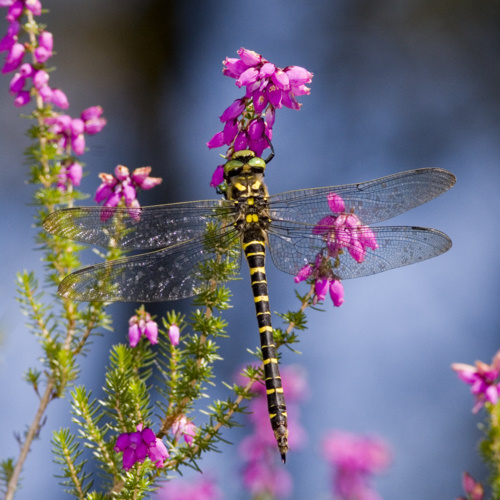 Gold-ringed_Dragonfly