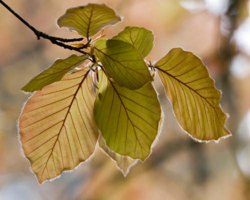 Young_Copper_Beech_Leaves